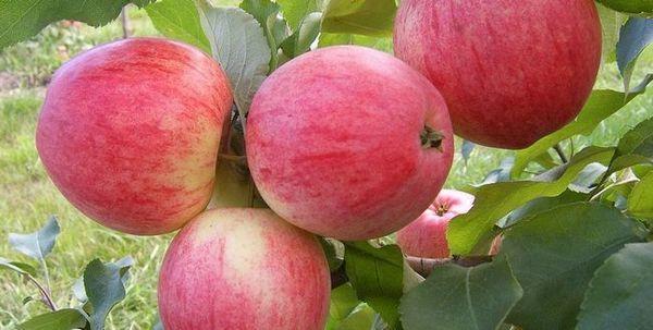 Najbolje sorte jabuka za moskovsku regiju 1