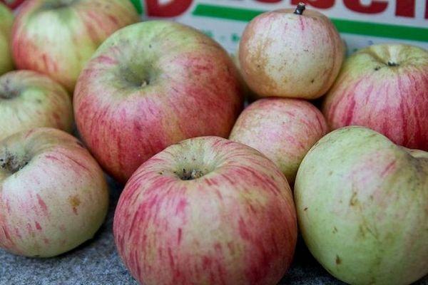 Najbolje sorte jabuka za moskovsku regiju 11