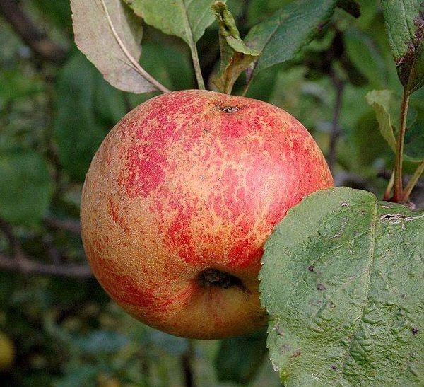 Najbolje sorte stabala jabuka za moskovsku regiju 12