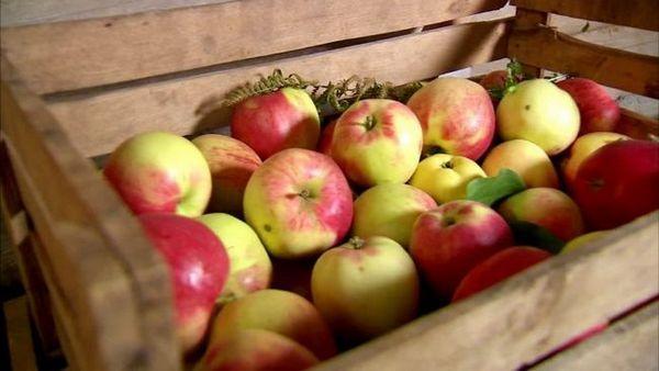Najbolje sorte jabuka za moskovsku regiju 13