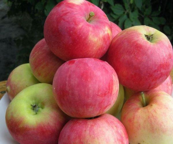 Najbolje sorte jabuka za moskovsku regiju 15
