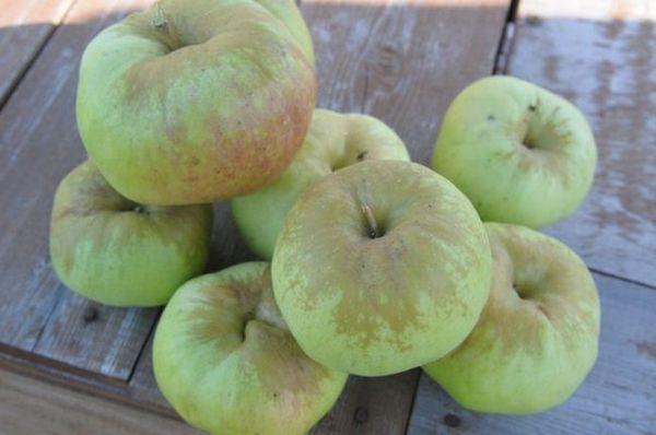 Najbolje sorte jabuka za moskovsku regiju 16