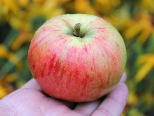 Najbolje sorte jabuka za moskovsku regiju 17