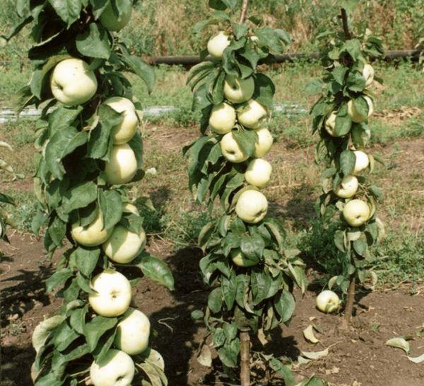 Najbolje sorte jabuka za moskovsku regiju 18
