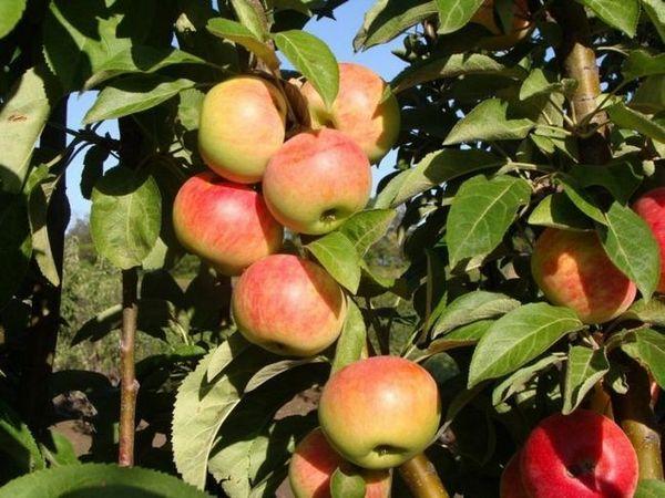 Najbolje sorte jabuka za moskovsku regiju 19