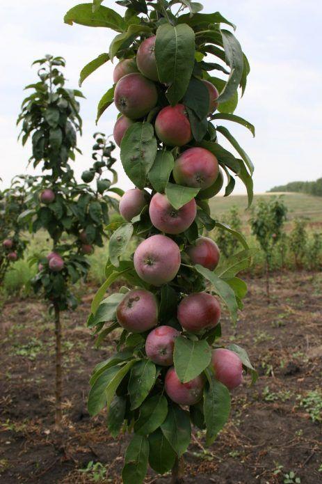Najbolje sorte jabuka za moskovsku regiju 20