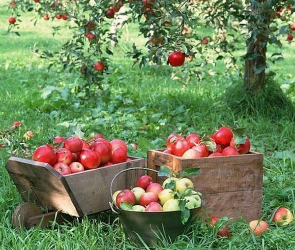 Najbolje sorte jabuka za moskovsku regiju 2
