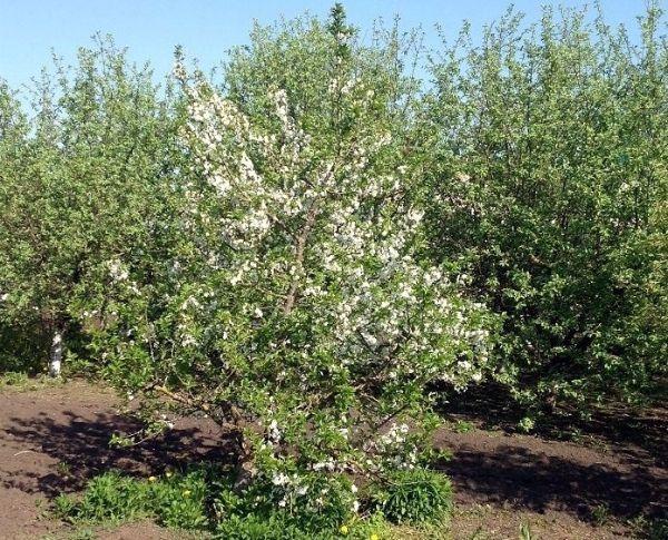 Najbolje sorte stabala jabuke za moskovsku regiju 21