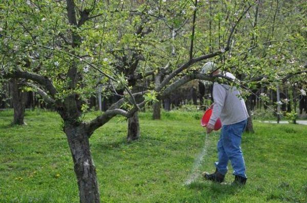Najbolje sorte stabala jabuka za predgrađe 25