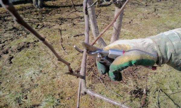 Najbolje sorte stabala jabuka za predgrađe 26