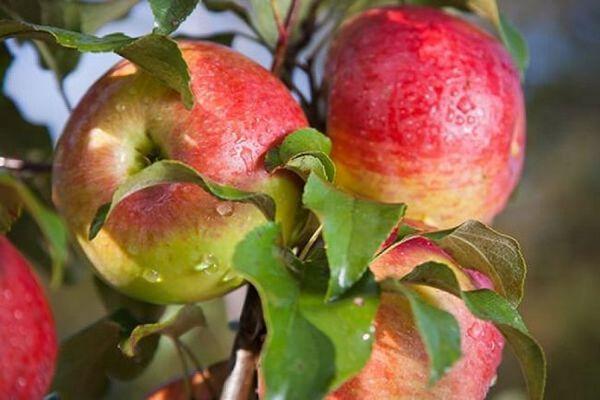 Najbolje sorte stabala jabuka za moskovsku regiju 4