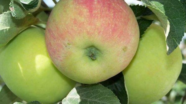 Najbolje sorte jabuka za moskovsku regiju 5