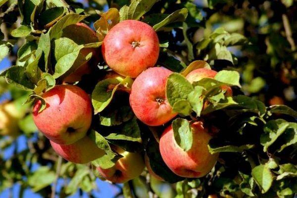 Najbolje sorte stabala jabuka za moskovsku regiju 6
