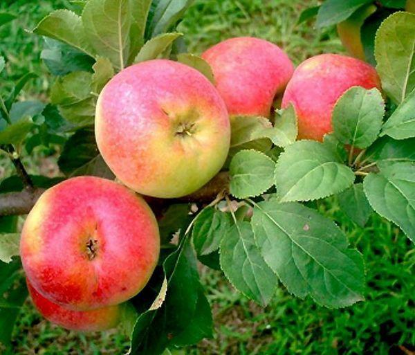 Najbolje sorte jabuka za moskovsku regiju 8
