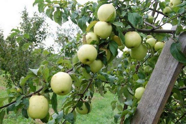 Najbolje sorte stabala jabuka za moskovsku regiju 9