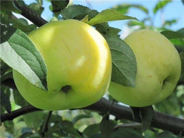 Najbolje sorte jabuka za moskovsku regiju 10