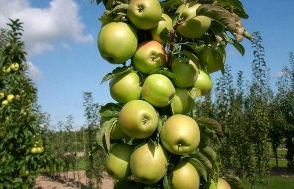 Najlepšie odrody stĺpovitých jabloní