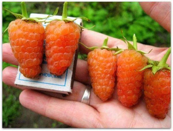 Malinové odrody pomarančový zázrak zdobia záhradu aj na jeseň