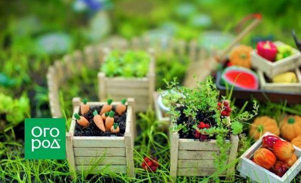 Mini-legume în grădină și pe pervaz - merită să le crești deloc?