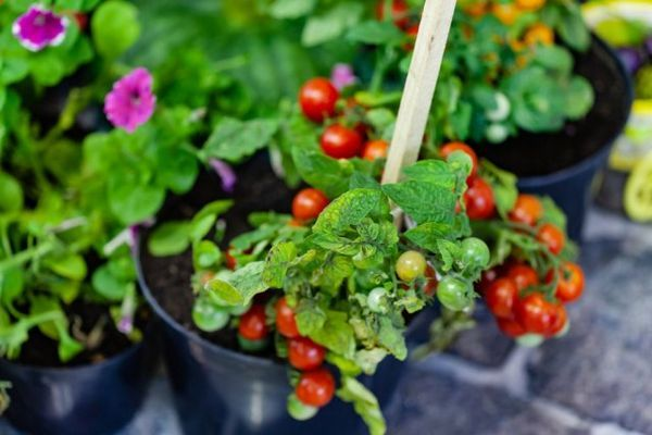 Mini-legume în grădină și pe pervaz - merită să le crești deloc? 7