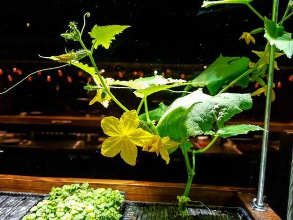 Mini-legume în grădină și pe pervaz - merită să le crești deloc? 9