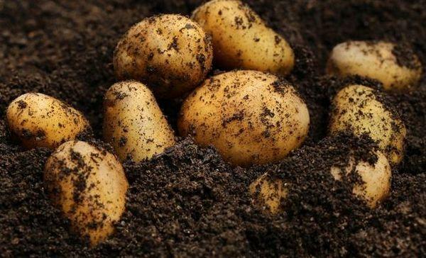 Mladé zemiaky v októbri? Rastieme bez problémov!
