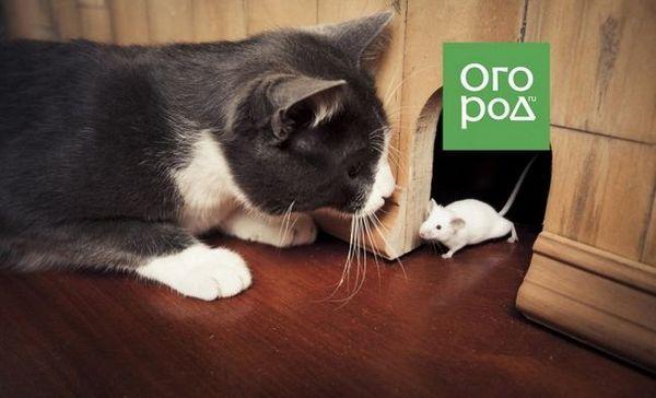 Je možné naučiť mestskú mačku chytiť myši v krajine?