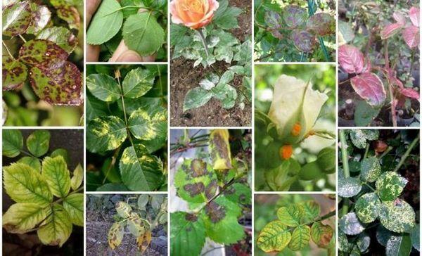 Na listoch ruže sa objavili škvrny - čo robiť a ako ošetrovať rastliny