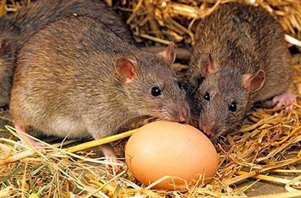 Spoľahlivé spôsoby, ako sa zbaviť potkanov v kurníku, metódy kontroly
