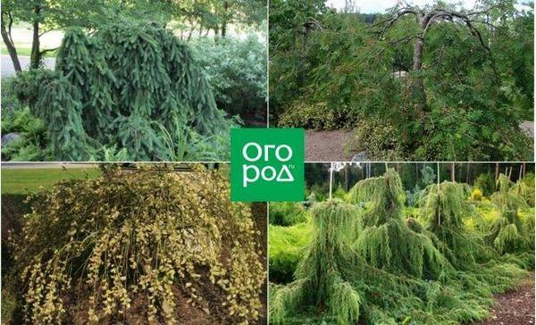 Ne samo vrbe - 10 stabala s plačućom krošnjom