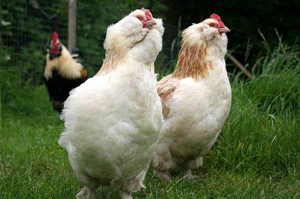 Popis kurčatá faverol, produktivita chovu, jeho údržba a starostlivosť