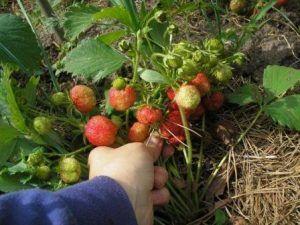 Opis sorte privjesaka od jagoda (jagoda) od rubina