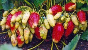 Opis sorte torpeda od jagoda (jagoda)