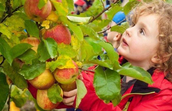 Jesenné potešenie: výber najlepších odrôd jabĺk dozrievajúcich na jeseň