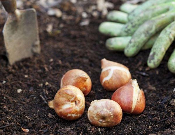Caracteristicile plantării lalelelor 7