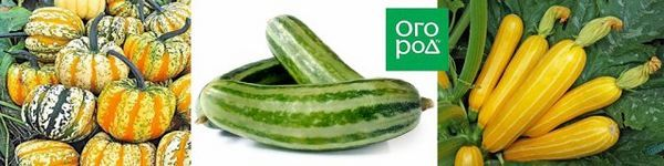 Bicolor zelenina: oplatí sa získať také neobvyklé odrody doma 5