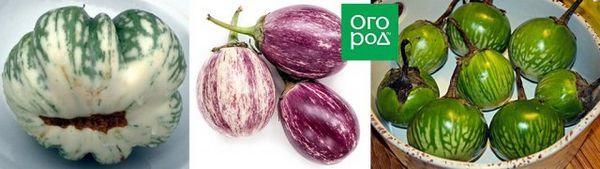 Bicolor zelenina: oplatí sa získať také neobvyklé odrody doma 6