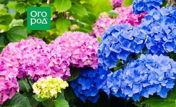 Prečo hortenzia mení farbu a ako tomu zabrániť