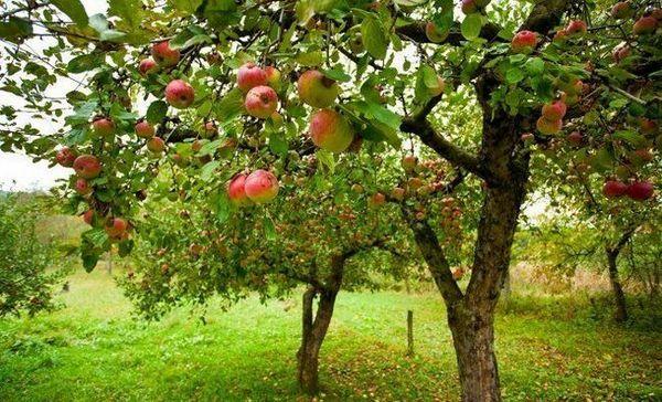 De ce pomul fructează fructele într-un an - toate motivele posibile