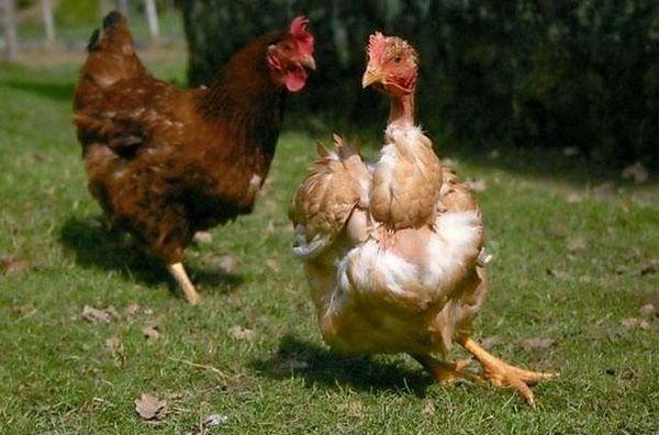 Prečo sa kurčatá klovajú navzájom do krvi a trhajú perie
