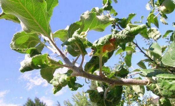 De ce frunzele se răsucesc pe măr și pere - motive și sfaturi despre ce să faci