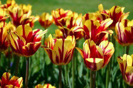 Caracteristicile plantării lalelelor 8