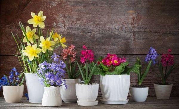 Cadou pentru 8 martie: cum să păstrezi acasă flori în ghiveci