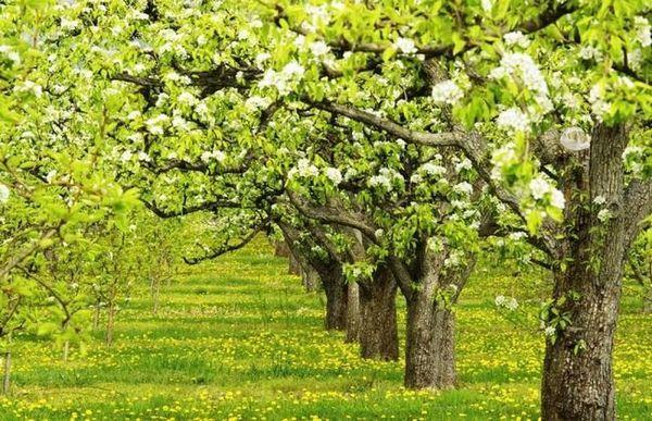 Správne prerezávanie hrušiek je kľúčom k zdraviu rastlín a vysokým výnosom