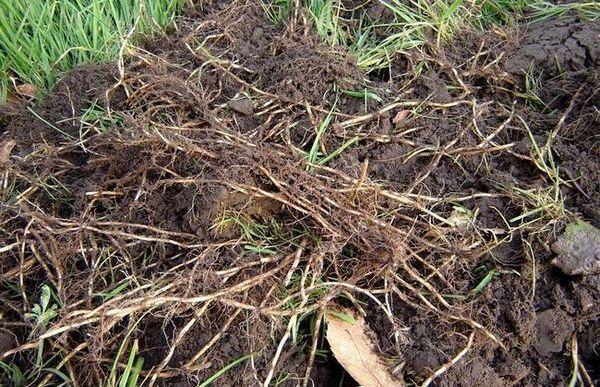 Pšenična trava na mjestu: kako ga pobijediti