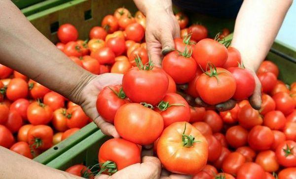 Zásoby z paradajok - ako zmeniť svoj prospech
