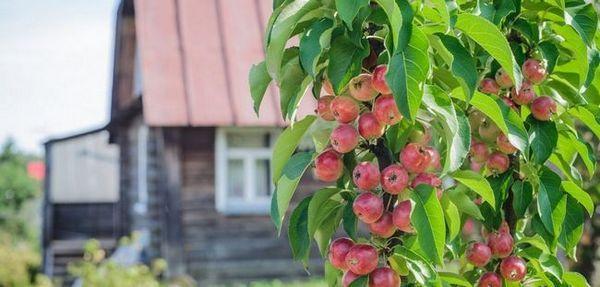 Tajomstvá pestovania jabĺk na `stĺpoch `