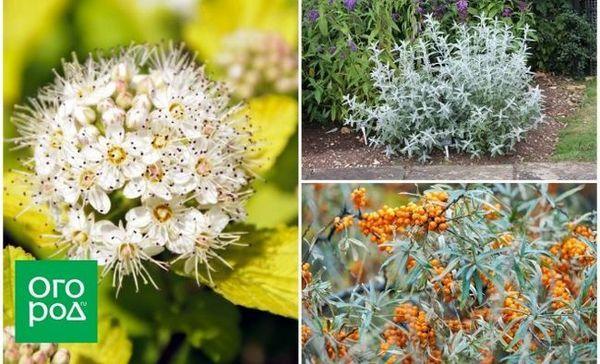 Riznica vašeg vrta - grmlje sa zlatnim i srebrnim lišćem