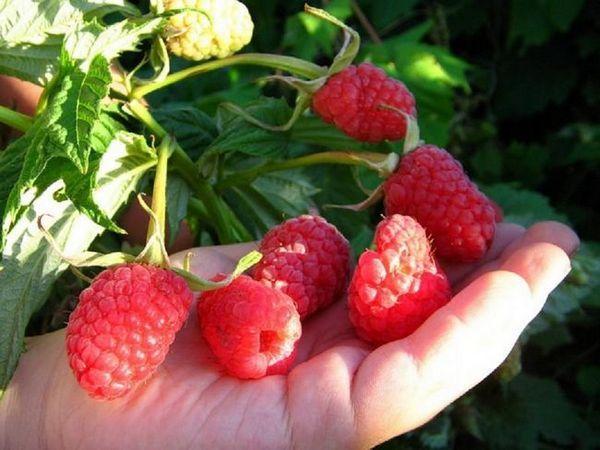 Odroda ruska: maliny s chuťou lesných plodov