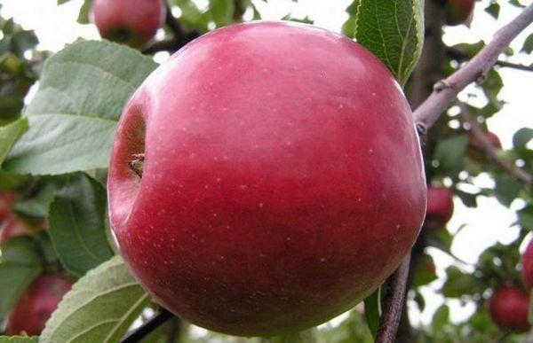 Raná odroda červeného jablka - záhradná dekorácia a chutné ovocie